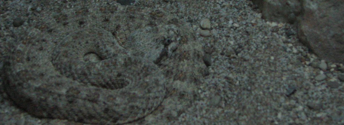 Sneaky rattle snake hiding.